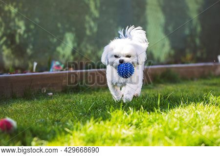 A Portrait Of A Small Cute White Boomer Dog Playing With A Blue Ball In A Garden On The Grass Lawn O