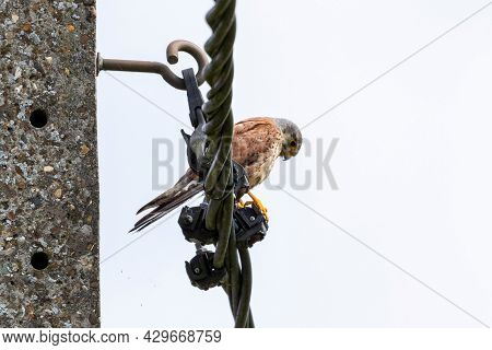 A Portrait Of A Common Kestrel Sitting Perched High On An Electricity Wire. The Bird Of Prey Has A W