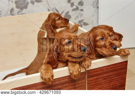 Brown Irish Setter Puppies In A Wooden Den.
