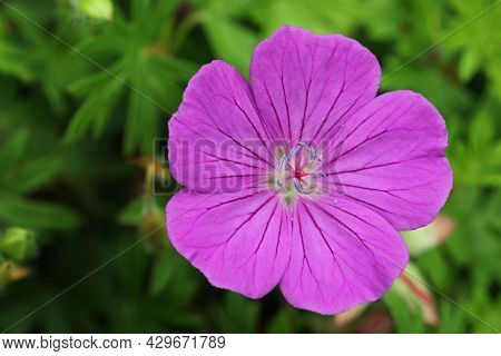 Pink Bloody Cranesbill, Geranium Sanguineum Variety Nyewood, Flower Close Up With A Background Of Bl