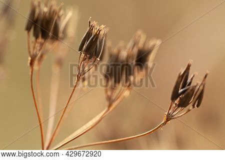 Faded Umbellate Inflorescence With Elongated Brown Seeds