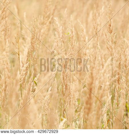 Field With Densely Growing Faded Cereal Grass With Yellow Panicles