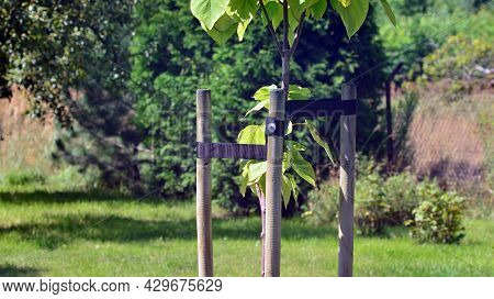 Young Tree  Sapling Propped And Supported By The Wooden Slats And Tied By Tape String In Garden.