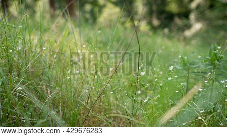 Green Grass On The Forest Meadow In The Morning Sunlight. Macro Image. Beautiful Summer Nature Backg