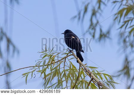 Redwinged Black Bird Perched On A Branch