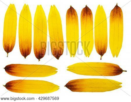 Pressed And Dried Rudbeckia Petals  Flower. Isolated On White Background. For Use In Scrapbooking, P