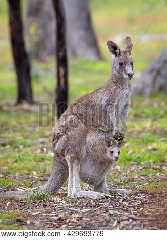 Close-up Portrait Photo Of Aeastern Grey Kangaroo Mother And Baby In Pouch Taken In Woodlands Histor
