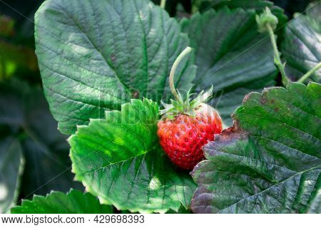 Red Strawberries Are Growing At Garden. Strawberry Plant. Strawberry Bush