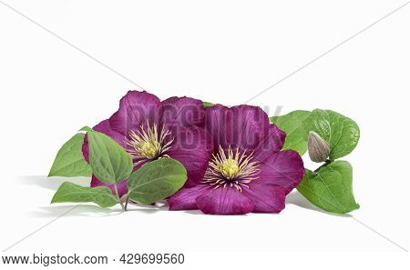 Pink Purple Clematis Flowers Isolated On White Background. Floral Summer Or Spring Background. Postc