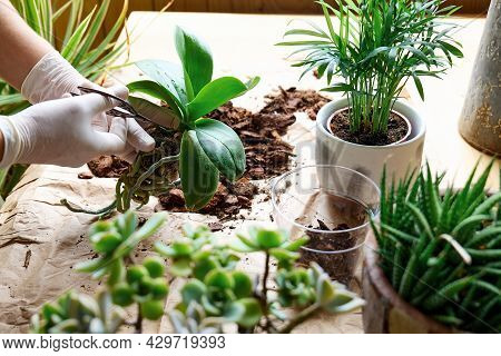The Hands Of Woman Transplanting Orchid Into Another Pot On The Table, Cut Out Rotten Roots,  Taking