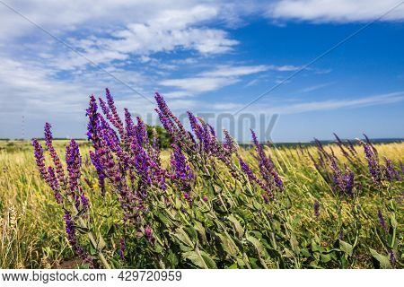 Purple Inflorescences Of Blooming Sage In The Summer Don Steppe. It Is A Bright, Sunny And Windy Day