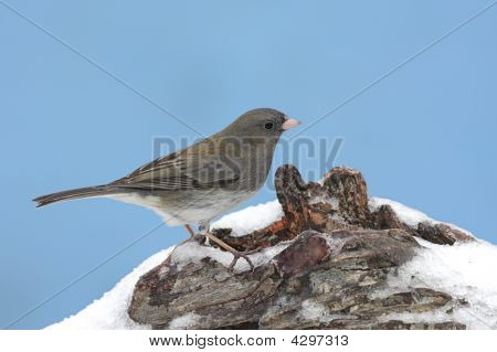 Dark-eyed Junco (junco hyemalis) on a log covered with snow in winter poster