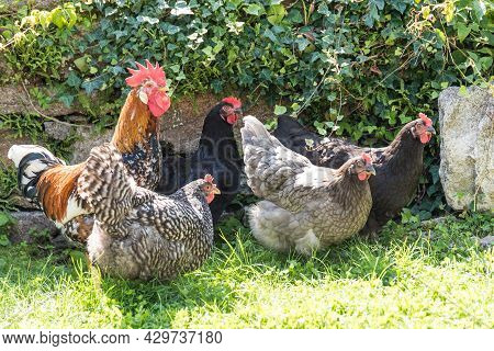 Free-range Hens And Roosters - Chickens And Roosters
