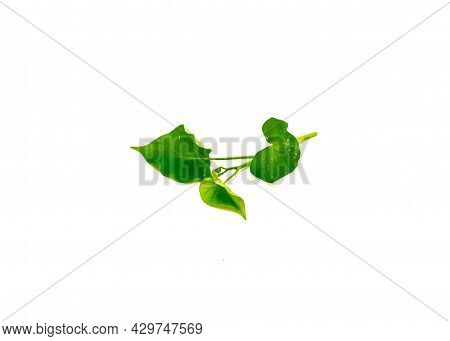 Fresh Branch Of Sweet Potato Ipomoea Batatas Leaves Isolated On White Background