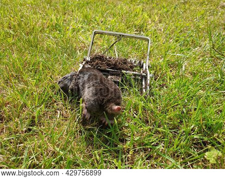 A Photo Of A Dead Mole In A Claw Mole Trap Lying On A Grass Lawn In A Garden. The Digging Animal Was