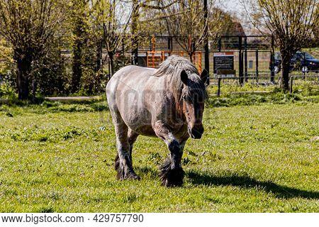 Grayish Brown Dutch Draft Horse Known As Zeeland Horse, Walking On Green Pastures On A Farm On A Sun