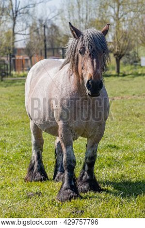 Front View Of A Brownish Grayish Dutch Draft Horse Known As Zeeland Horse, Standing On Green Pasture