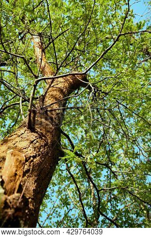 Canopy Of Wood With Juicy Green Leaves, Ground Level View Against Bright Blue Sky. High Quality Phot