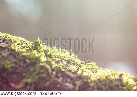 Close Up And Soft Focus Of Green Moss And Bark On A Tree With Contoured Sunlight On A Blurry Neutral