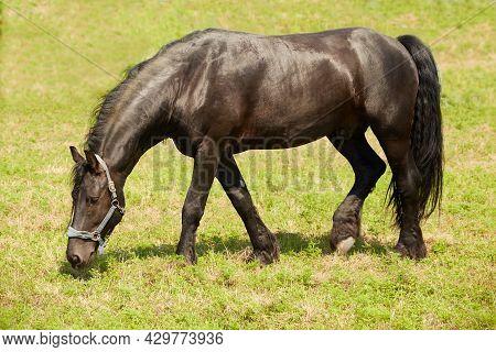 Black Friesian Stallion Grazes In Summer Pasture