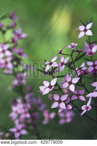 Beautiful Pink Flowers Of The Sydney Boronia, Boronia Ledifolia, Family Rutaceae. Winter To Spring F