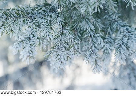 Pine Tree Branches Are Covered With Frost, Nature Winter Natural Background, Snow-covered Coniferous