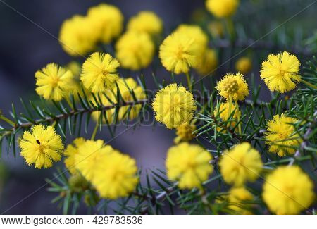 Close Up Of The Yellow Globular Flowers And Prickly Leaves Of The Australian Native Hedgehog Wattle,