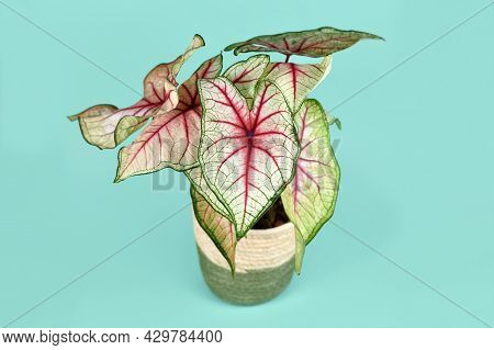 Exotic Houseplant With Botanic Name 'caladium White Queen' With White Leaves And Pink Veins In Baske