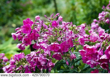 Purple And Magenta Color Phloxes On Background Of Green Foliage. Phloxes Flower In A Garden Covered