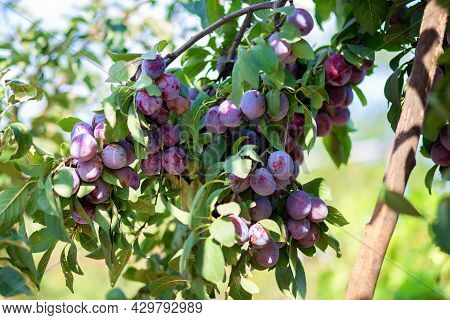 The Fruits Of The Plum Tree Hang On A Branch. Growing Plums At Their Summer Cottage. Own Orchard. Pl