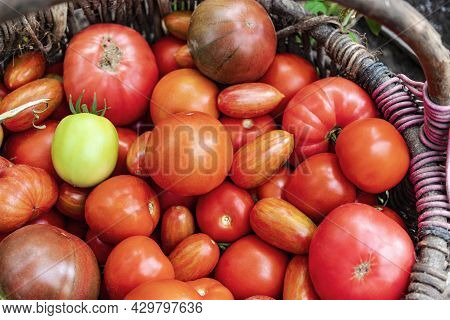 Fresh Ripe Tomatoes In A Wicker Basket. Harvesting Natural Vegetables On The Farm. Collecting Tomato