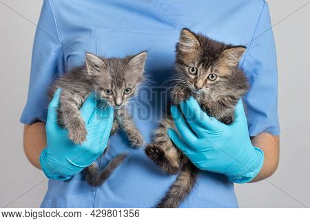 The Veterinarian Holds Two Gray Kittens In His Hands. Treatment Of Animals, Clinic For Pets.