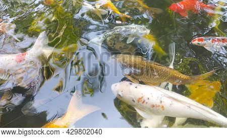 Footage Top View Of Fancy Carp Swimming In Pond. Water Is Black And Reflection Of Light. Close Up Sh
