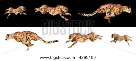 Cheetah Sequence