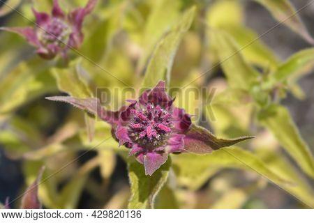 Bee Balm Flower Buds - Latin Name - Monarda Didyma