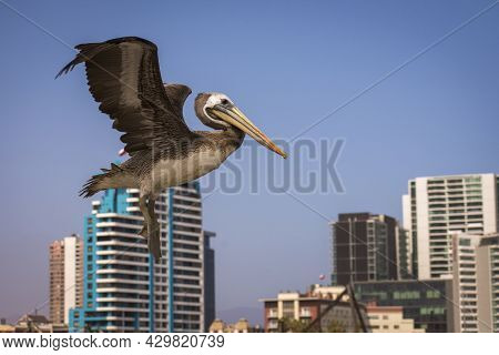Flying Pellican With Extended Wings And Buildings With Blue Sky At The Background. Pelecanus Thagus,