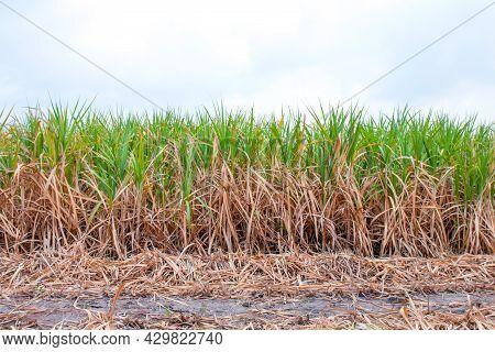 Sugarcane Plantation, Sugar Cane In Harvest Season, Sugarcane Land, Sugar Cane Fresh In Plant Field