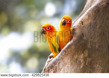 Two Sun Conures In A Nest In A Hollow Tree