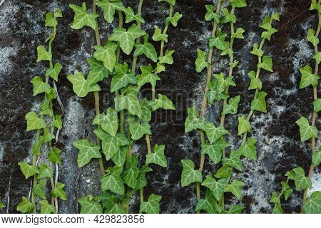 Close-up of hardy green shoots of wild English Ivy (Hedera helix) evergreen plant climbing textured concrete wall during summer season