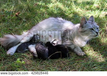 Gray Fluffy Cat Feeds Newborn Kittens On Green Grass Outdoors. Summer Sunny Day