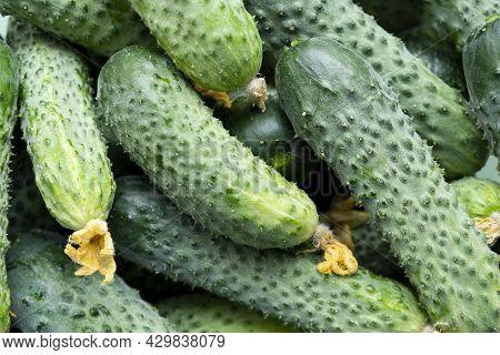 Fresh Cucumbers Background Texture. Cucumbers Harvest. Cucumber Pattern.