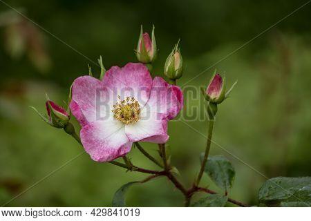 Bright Pink Shining Rose, Latin: Rosa Nitida, With Blurry Background