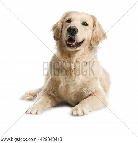 Cute Golden Retriever Dog On White Background
