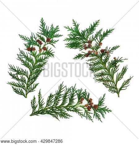 Cedar cypress fir leaves eco symbol triangle isolated on white background. Environmentally friendly concept. Flat lay top view, copy space.