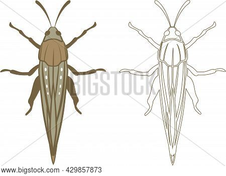 Realistic Illustration Of Locust Or Grasshopper Insect. Isolated On White Background. Insects Bugs W