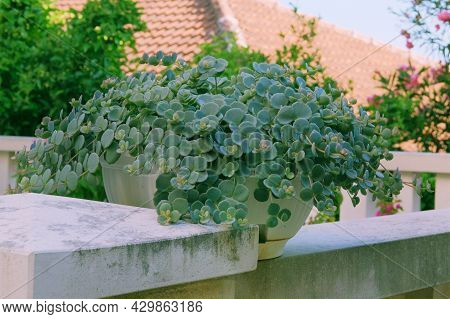Succulents Plants In Pot Stand On The Steps At The Entrance To The House. Green Plants Aroud Of Faca