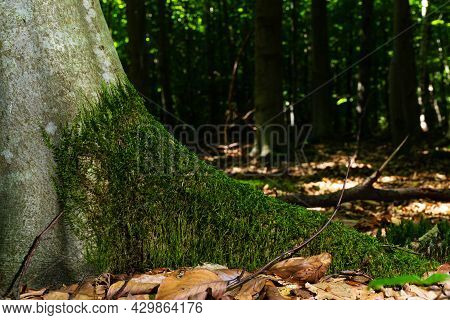 Beech Tree Trunk With Green Moss On Roots In Autumn Forest On Background