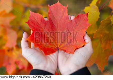 Orange Maple Leaf In Caucasian Woman Palms. Colorful Red Maple Leaves On Background. Symbol Of Canad