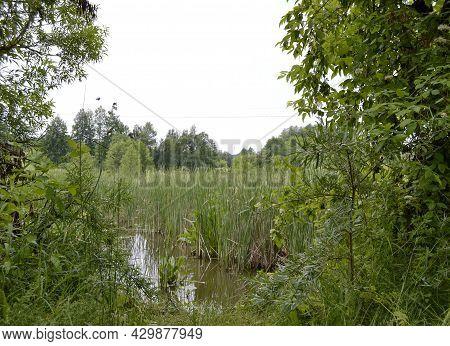 Beautiful Grass Swamp Reed Growing On Shore Reservoir