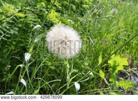 Beautiful Fluffy Blooming Flower Dandelion On Colored Background Close Up. Photography Consisting Of
